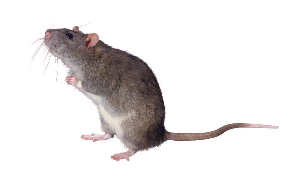 Mouse and marketing